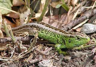 Zauneidechse - Reptilien, Eidechse, Zauneidechse, Männchen, Echse, Lacerta, agilis, Zecke, Zecken, Reptilie, grün, Schuppen