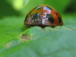 Marienkäfer von hinten - Insekten, Käfer, Marienkäfer, Punkte, gepunktet, Hinterteil