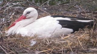 Storch beim Brüten - Frühjahr, Frühling, Vögel, Vogel, Storch, Weißstorch, brüten, Nest, Federn, schwarz, weiß