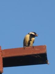 Meise mit Futter im Schnabel - Frühjahr, Vögel, Nistkasten, Nisthilfe, Brut, Artenschutz, Vogelschutz, Meisen, brüten, füttern