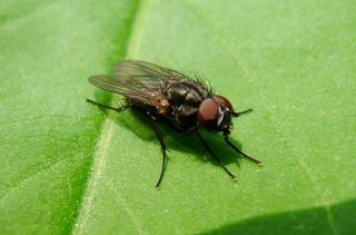 Fliege - Insekten, Fluginsekt, Zweiflügler, Sechsfüßer, Fliege, Flügel, Hautflügel, Netzaugen, Körperteile
