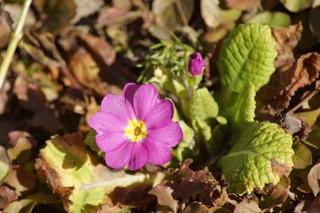 Primel - Primel, Pflanze, blühend, Frühblüher, Frühling, Frühjahr, magenta