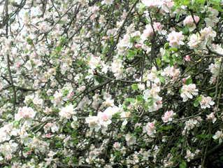 Blüten eines Apfelbaumes - Apfelbaum, Blüte, Blüten, blühen, Kernobstgewächs, Rosengewächs, Obst, Frucht, Frühling, Frühjahr, weiß, rosa, blühen, Baumblüte, Garten