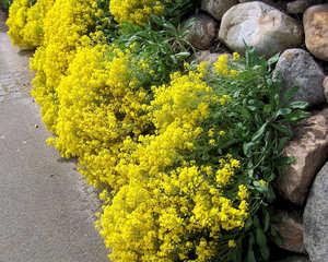 Gelbes Steinkraut - Steinkruat, Alyssum, gelb, Frühling, Sommer, Kreuzblütler, Steingarten, Polster, Staude, Blätter, Blüten