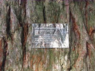 Mammutbaum #2 - Sequoia, Mammutbaum, kiefernartig, Zypressengewächs, Pyrophyten, Rinde, Baumstamm, Stamm