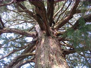 Mammutbaum #3 - Sequoia, Mammutbaum, kiefernartig, Zypressengewächs, Pyrophyten, hoch, immergrün, Baumkrone, Äste, Zweige, Rinde, Stamm, Baumstamm