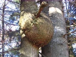 Baumkrebs - Baumkrebs, Pilzinfektion, Stamm, Rinde, Wucherung, Wald, Infektion, Geschwulst
