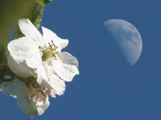 Mond und Apfelblüte - Mond, Apfelbaum, nah und fern, Perspektive