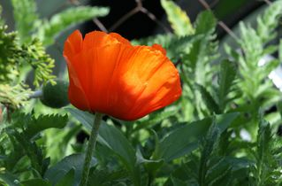Mohnblume - Mohn, Klatschmohn, Wiesenblume, Mohnblume, Knospe, haarig, behaart, rot