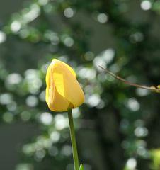 Tulpenblüte - Frühling, Frühjahr, Frühblüher, Tulpe, Blüte, Zwiebelgewächs, Meditation, Schreibanlass, gelb