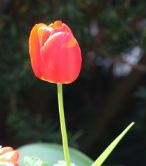 Tulpenblüte - Frühling, Frühjahr, Frühblüher, Tulpe, Blüte, Zwiebelgewächs, Meditation, Schreibanlass, rot