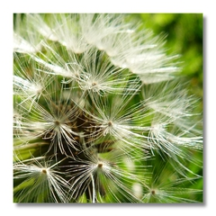 Pusteblume - Trittvegetation, Körbchenblüte, Windverbreitung, Samen, Samenstand, Flugsamen