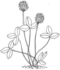 Weiß-Klee - sw - Klee, Weiß-Klee, Schmetterlingsblütler, Hülsenfrüchtler, dreiblättrig, Wiesenblume, Wildblume, Illustration