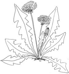 Löwenzahn - sw - Löwenzahn, Korbblütler, Taraxacum, Bienenweide, Illustration
