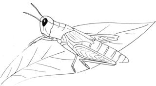 Grashüpfer - sw - Grashüpfer, Heupferd, Heuschrecke, Insekt, Sechsfüßer, Illustration, Wörter mit pf
