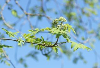 Vogelbeere (Eberesche) Blütenstand - Vogelbeere, Eberesche, Sorbus aucuparia, Mehlbeeren, Sorbus, Baum, Laubbaum, Blüte, Blütenstand, geschlossen, Kernobstgewächs, Pyrinae, Heilpflanze, Sprechanlass