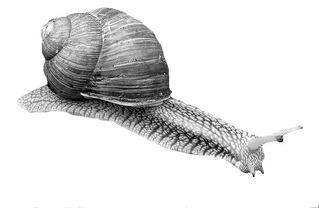 Schnecke - Schnecke, Weichtier, Gastropoda, Weinbergschnecke, Schneckenhaus, Gehäuse, Fühler, langsam
