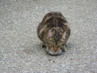 Katze mit Beute #1 - Katze, Beute, Beutetrieb, Jagdtrieb, Haustier, Vogel, Sperling