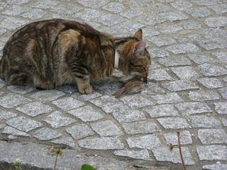 Katze mit Beute #6 - Katze, Beute, Beutetrieb, Jagdtrieb, Haustier, Vogel, Sperling