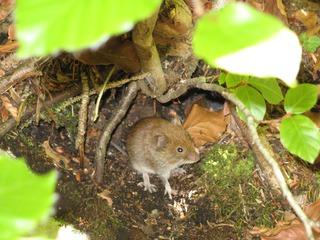 Waldmaus - Maus, Waldmaus, Nagetier, Versteck, Höhle
