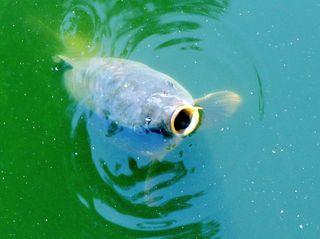 Karpfen im Wasser - Karpfen, schnappen, Wasser, Fisch, schwimmen, Spiegelkarpfen, Silvesterschmaus, fischen, angeln, Schreibanlass