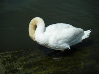 Schwan beim Putzen#2 - Schwan, schwimmen, Vogel, weiß, Federn, Ente, braun, Wasser, Wasservogel