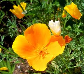 Kalifornischer Goldmohn #1 - Goldmohn, Mohn, Kappenmohn, Blume, Blüte, gelb, goldgelb, Poppy, einjährig