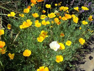 Kalifornischer Goldmohn #2 - Goldmohn, Mohn, Kappenmohn, Blume, Blüte, gelb, goldgelb, Poppy, einjährig