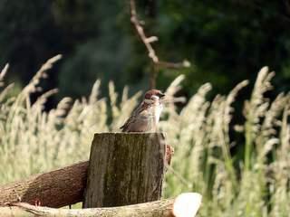Sperlings Ausguck - Sperling, Spatz, Vogel, gucken, schauen, Erzählanlass, Zaun