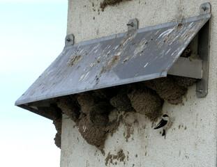 Schwalbe am Nest - Schwalbe, Mehlschwalbe, Zugvogel, Vogel, Brutvogel, Koloniebrüter, Nestkolonie, Nester, Nistplatz