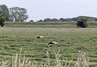 Zwei Störche - zwei, Storch, Störche, Weißstorch, Vogel, Vögel, Zugvogel, Adebar, Futter, Gras, Wiese, schreiten, Futter, Futtersuche, Nahrungssuche