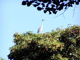 Reiher auf der Baumspitze - Reiher, Baum, Vogel, Schreitvogel, grau