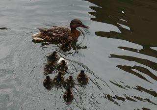 Entenfamilie #1 - Ente, Entenküken, Entenfamilie, Vogel, Vögel, Familie, schwimmen, Wasservogel, Wasser, acht, Küken