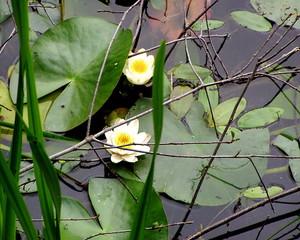 Seerosen im naturbelassenen Uferabschnitt - Seerose, Seerosen, Wasserpflanze, Teich, Blätter, Gewässer, Blüte, Wasserpflanze, Schwimmblätter, Uferand, Knospe