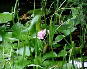 Seerose im Uferbereich - Seerose, Seerosen, Wasserpflanze, Teich, Blätter, Gewässer, Blüte, Wasserpflanze, Schwimmblätter, Uferand, krautig