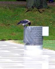 Nebelkrähe inspiziert den Abfallkorb - Krähe, Krähen, Nebelkrähe, Vogel, Rabenvogel, Schreibanlass