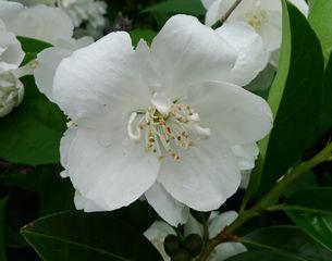 Jasminblüte - Jasmin, Blüte, Sommerjasmin, Bauernjasmin, Pfeifenstrauch, Zierghölz
