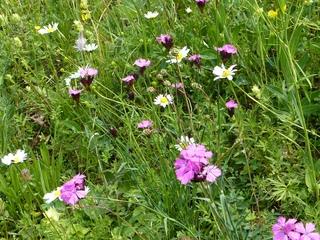 Wiese #2 - Wiese, Blumen, Blüten, Gräser, Unkraut, grün, Frühling, blühen, Garten, Natur, Kräuter, Margerite