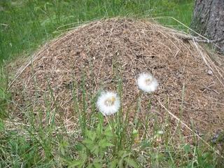 Ameisenhügel - Ameise, Hügel, Staat, Gemeinschaft, Löwenzahn, verblüht, Pusteblume