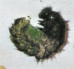 Entwicklungsstadien kleiner Fuchs#2 - Tiere, Insekten, Schmetterling, Raupe, Metamorphose