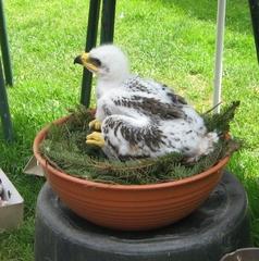 Adler Schreiadler Jungvogel - Adler, Greifvogel, Jungvogel