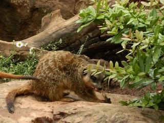 Erdmännchen beim Fressen - Erdmännchen, Raubtier, Katzenartige, Manguste, suricata suricatta, fressen, Futter, Nahrung