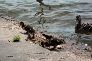Entenschule - Enten, Stockenten, Küken, Vogel, Schwimmvogel, schwimmen