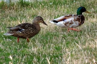 Entenspaziergang - Stockente, Erpel, Schwimmente, Vogel, Ente, Enten, laufen, Paar, Entenpaar