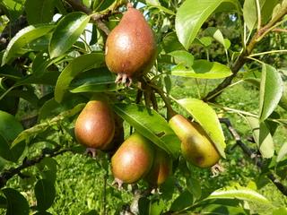 Birnen - Birne, Birnbaum, Frucht, Kernobst