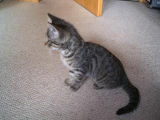 Katzenjunges - Katze, Katzenjunges, Biologie, Jungtier, getigert, grau, Kätzchen, Schreibanlass