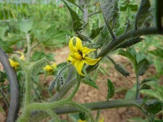Tomatenblüte - Nutzpflanze, Tomate, Garten, Tomaten, gelb, Gemüse, Nachtschattengewächs, blühen, Tomatenblüte, Blüte