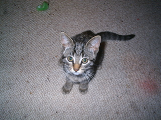 Sitzendes Katzenjunges - Katze, Katzenjunges, Biologie, Haustier, Jungtier, getigert, grau, jung, Kätzchen, Schreibanlass
