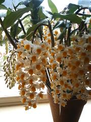 Orchidee - Orchidee, Blume, Pflanze, Biologie, Einkeimblättrige Pflanze, Korbblütler, Bedecktsamer