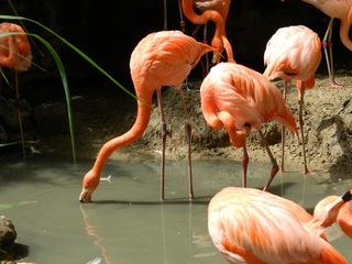 Flamingos#2 - Flamingo, Vögel, Kubaflamingo, Hals, Schnabel, rosa, Wasser